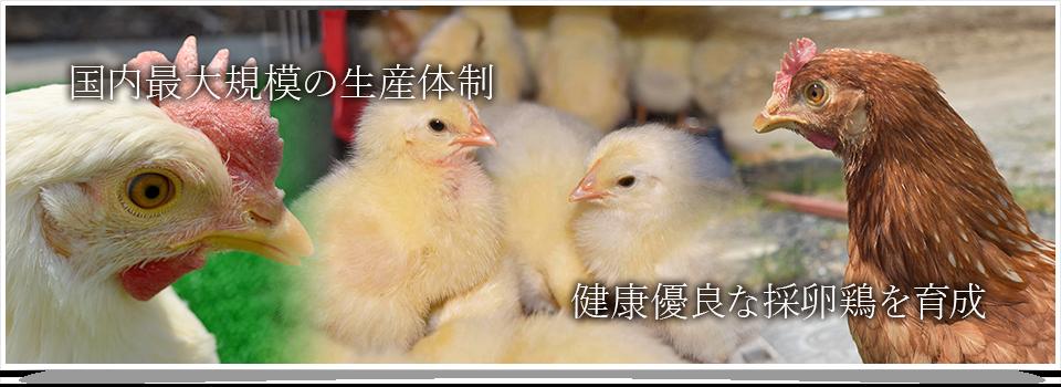 国内最大規模の生産体制 健康優良な採卵鶏を育成
